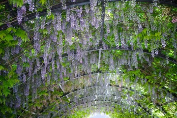 Cultural flower Wisteria lilac.