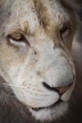 Lovely albino lion