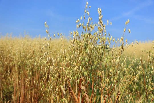 Close up view of Oat Crops in the fields
