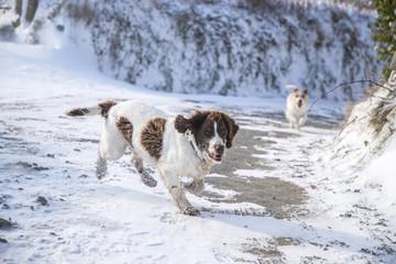 springer & terrier in the snow