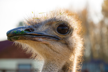 Ostrich portrait close-up