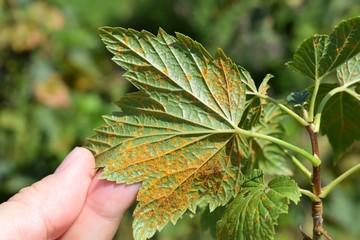 Cronartium ribicola disease on black currant leaves Wall mural