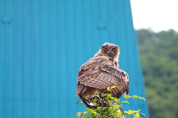 Young fluffy eagle owl on fence against turqouise blue background.