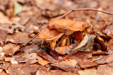beautiful mushrooms under yellow, orange forest leaves