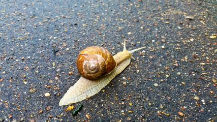 A snail with a large shell crawls along the asphalt