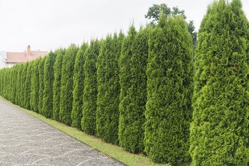 Green hedge of thuja trees. Green hedge of the tui tree. Nature, background. Wall mural
