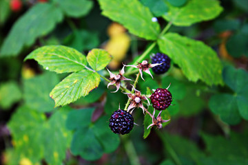 Wild Black Raspberry Plant with Ripe Berries Ready for Picking and Foraging