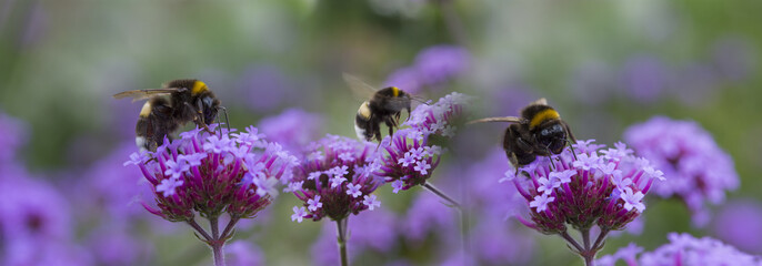 bumblebees on the garden flower - macro photo