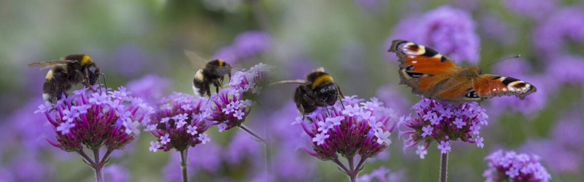 bumblebees and butterfly on the garden flower - macro photo