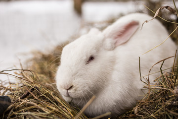 Funny little white rabbit with red eyes is sitting in the hay.