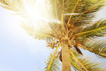 Coconut palm tree upward view with sun rays coming through the leaves.