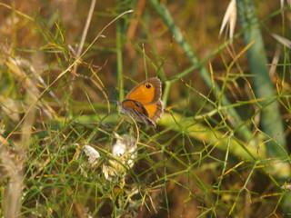 mariposa alas abiertas sobre hinojo
