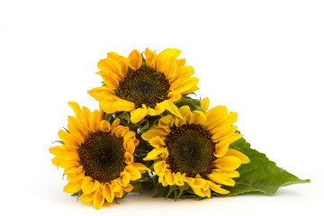 sunflowers on white background (Helianthus)