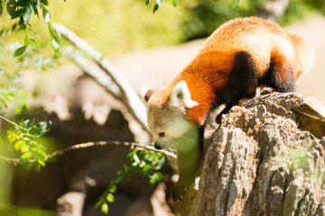 Red Panda Navigating the Trees to Find Bamboo Leaves