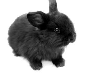 Black rabbit on white background