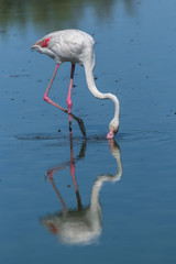 Pink flamingo eating in the lake, reflection on the water