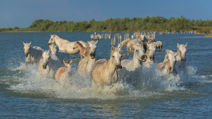 White horses and foals running in the water, beautiful light