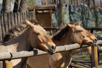 two brown horses tied to a wooden fence in the pen