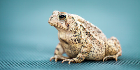 Wall Mural - Portrait Of Common Toad On Blue Background