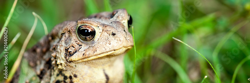 Wall mural Closeup Of Common Toad In Nature
