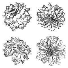 Dahlias set. Botanical vintage ink illustration. Collection of hand drawn flowers and herbs isolate on white background. Black and white florist elements. Vector.