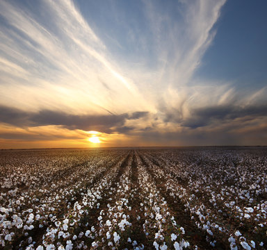 Beautiful Cotton Field with sunset