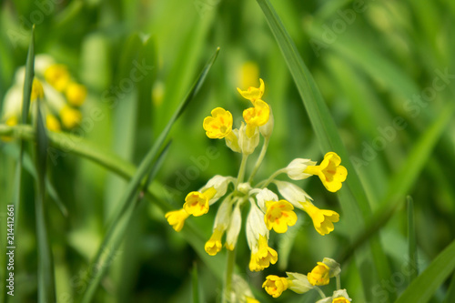 Flowers Of Yellow Primrose Primula In May Stock Photo And Royalty