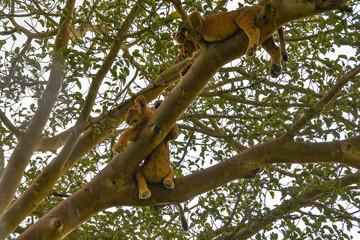 Tree climbing lions, Ishasha, Queen Elizabeth National Park, Uganda