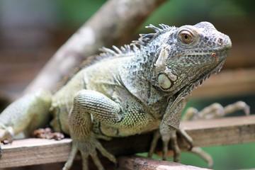 Iguana Perched