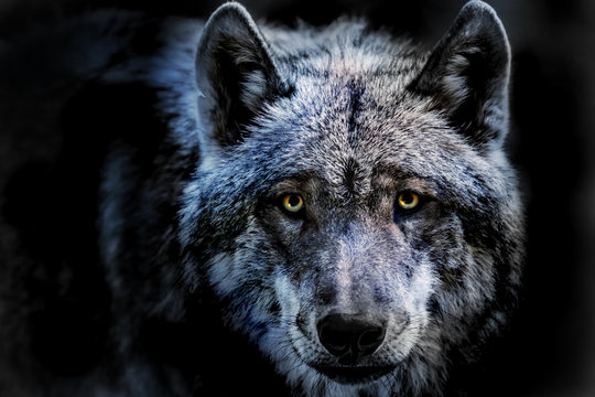 das Porträt von einem Wolf