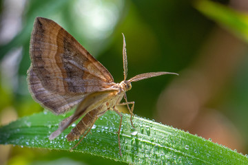Shaded broad-bar moth - Scotopteryx chenopodiata