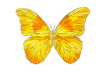 Beautiful yellow butterfly isolated on white background. Realistic hand drawing illustration. Insect collection.