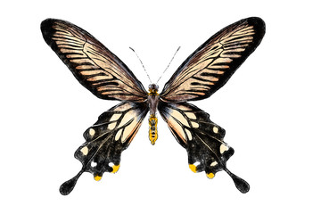 Beautiful butterfly isolated on white background. Realistic hand drawing illustration. Insect collection.