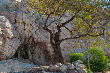 branchy green tree against the wall of the old Acropolis of Athens in Greece looks at the viewer