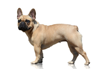 Fototapeten Französisch bulldog French bulldog isolated on white background. Side view