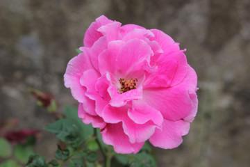 Soft Focus Roses Bloom