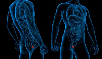 3d rendering illustration of the prostate gland