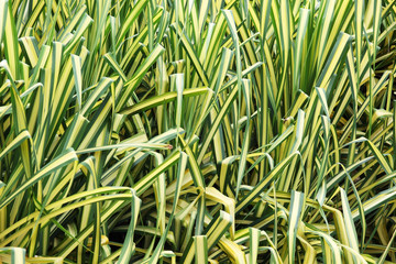 Wall Mural - texture of white-striped pandanus leaf plant