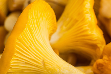 Background of chanterelles mushrooms, macro, fungus and orange