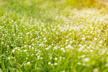 Fresh green spring grass in the morning background