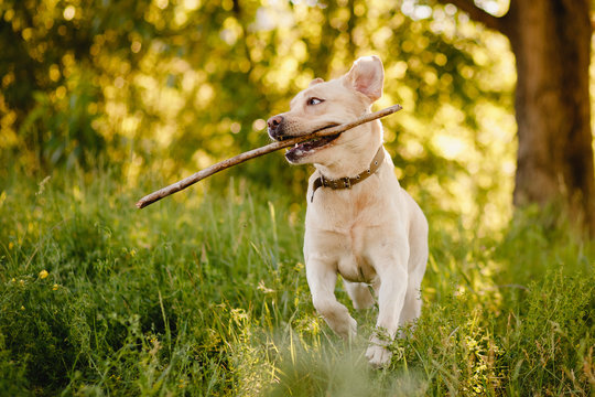 Active and happy retriever labrador dog runs and carries stick to owner man. Concept game with pet.