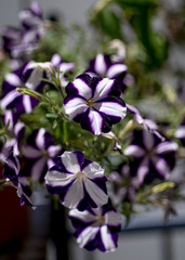 Violet white pelargonium - flowers on the terrace