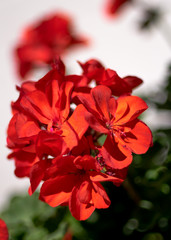 Red pelargonium- flowers on the terrace