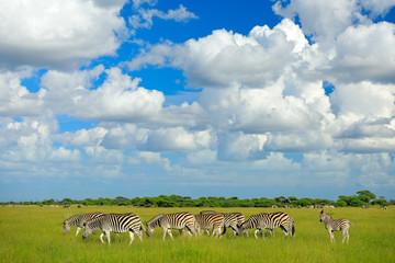 Fotomurales - Zebras with blue sky and white clouds. Burchell's zebra, Equus quagga burchellii, Nxai Pan National Park, Botswana, Africa. Wild animal on the green meadow. Wildlife nature, safari in rainy season.