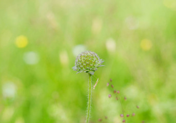 A buds of Blue Pincushion isolated on blurred background in a mountain field