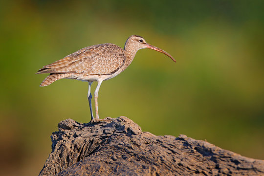 Whimbrel, Numenius phaeopus on the tree trunk, walking in the nature forest habitat. Wader bird with curved bill.