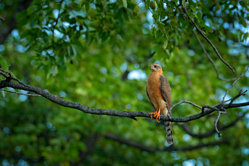 Fotomurales - Juvenile Ovambo Sparrowhawk, Accipiter ovampensis, sitting on the branch in the forest. Birds of prey in the nature habitat, Okavango delta, Botswana, Africa.
