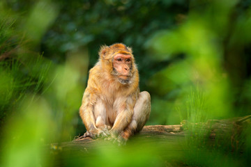 Old magot monkey in green habitat. Barbary macaque, Macaca sylvanus, sitting on the tree trunk, Gibraltar, Spain. Wildlife scene from nature.
