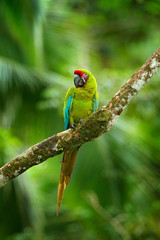Ara ambigua, Green parrot Great-Green Macaw on tree. Wild rare bird in the nature habitat, sitting on the branch in Costa Rica. Wildlife scene in tropic forest.