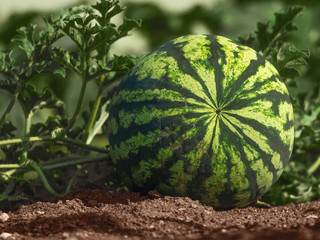 Young striped watermelon grows on the field